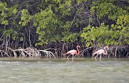 British Virgin Islands Flamingoes