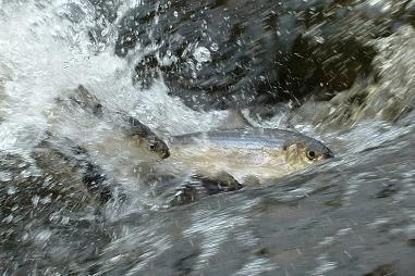 Atlantic River Herring