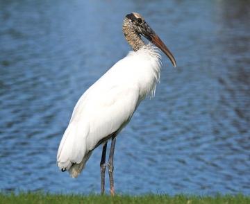 Florida Wood Stork