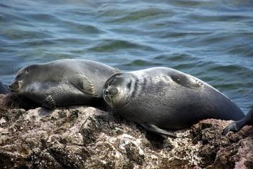 Baikal Seals sleeping