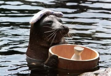 Baikal Seal collects