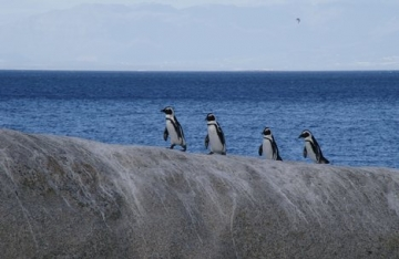 African Penguins on the march