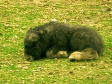 Musk Ox Calf, less than 1 week old