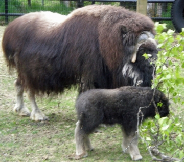 Musk Ox mother with calf