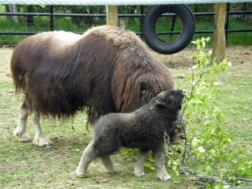 Musk Ox calf reaches for tasty leaf with mother ox