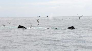 Humpbacks, laughing gulls, fishing boats feed on forage fish