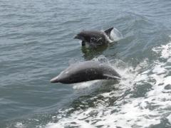 Dolphin in FL Lagoon