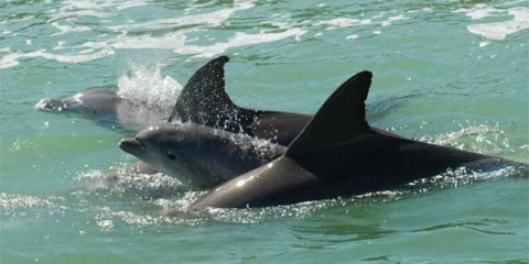 3 Dolphins swimming in Indian River Lagoon
