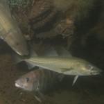 Atlantic Cod fish fishing fisheries