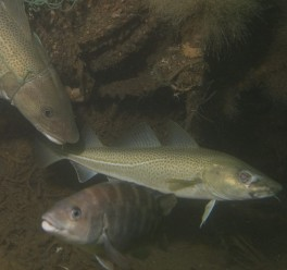 Atlantic Cod fish fishing fisheries