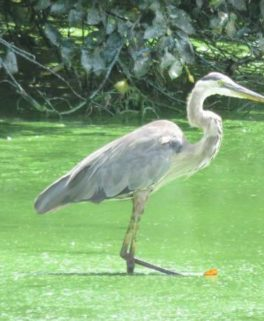 heron stepping into it