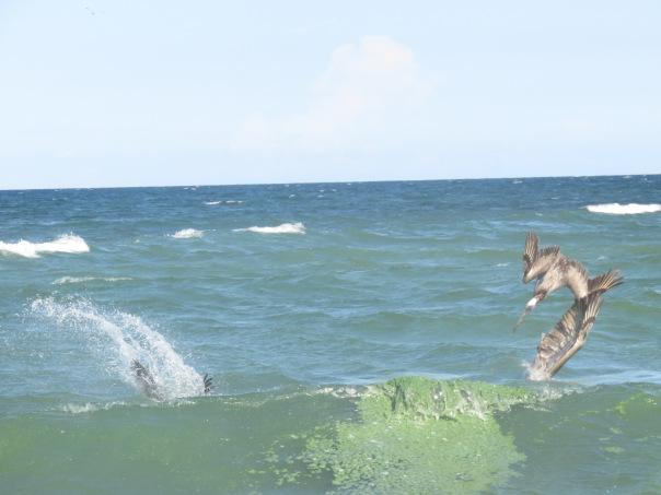 pelicans dive toxic algae
