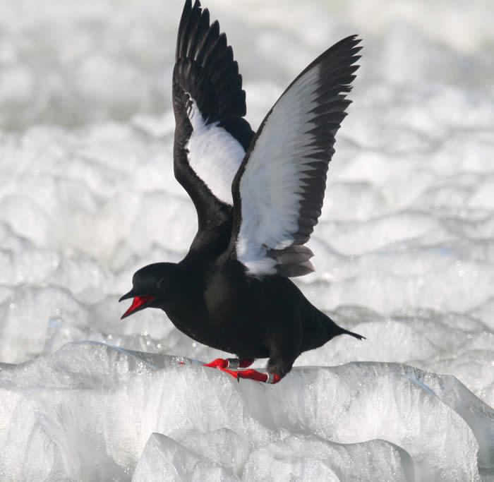 Black Guillemot Cooper Isle