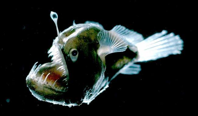 Widder angler fish