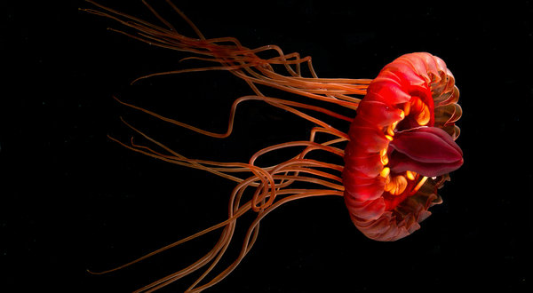 Widders biolum jellyfish