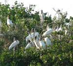 Wood Storks roosting in mangrove trees