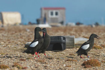 about-mission-black-guillemots