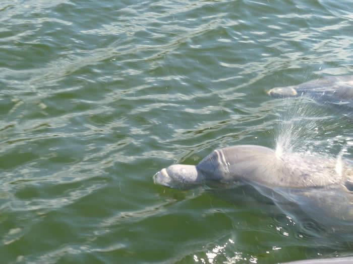 bottlenose-dolphin