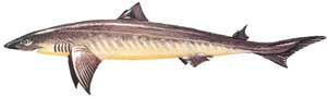Atlantic spiny dogfish image by NOAA