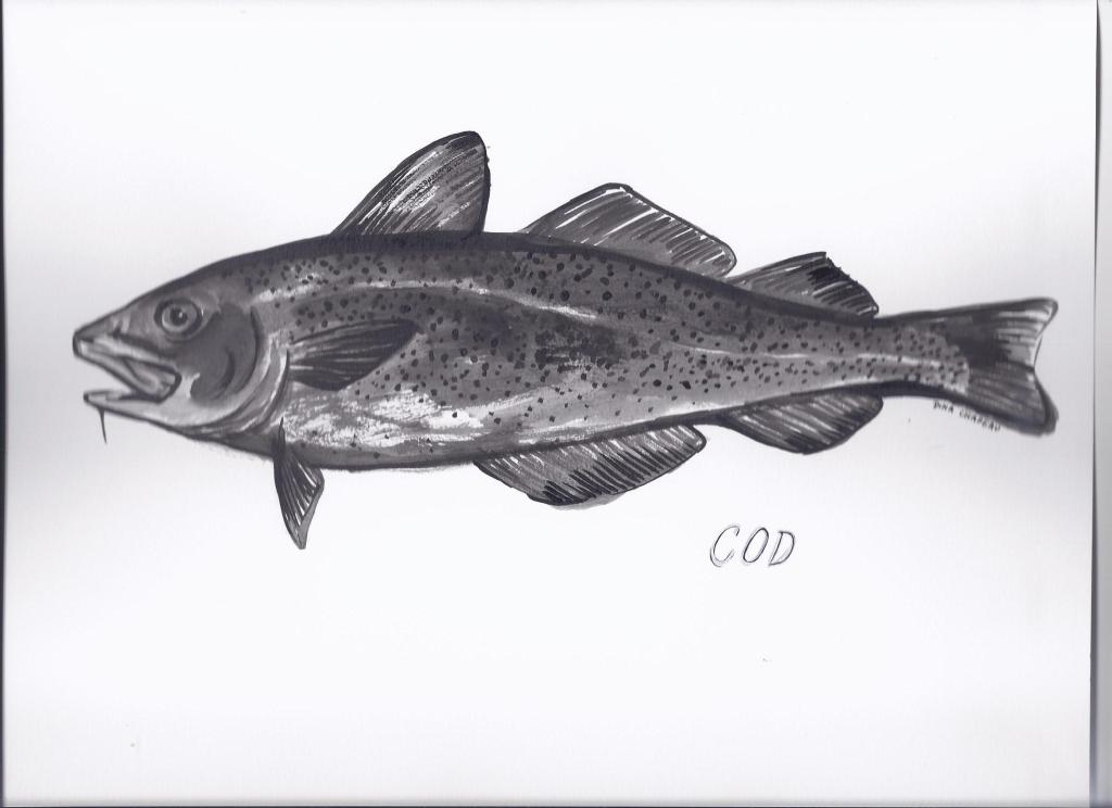Cod illustrated by Dina Chapeau for the Ocean River Institute