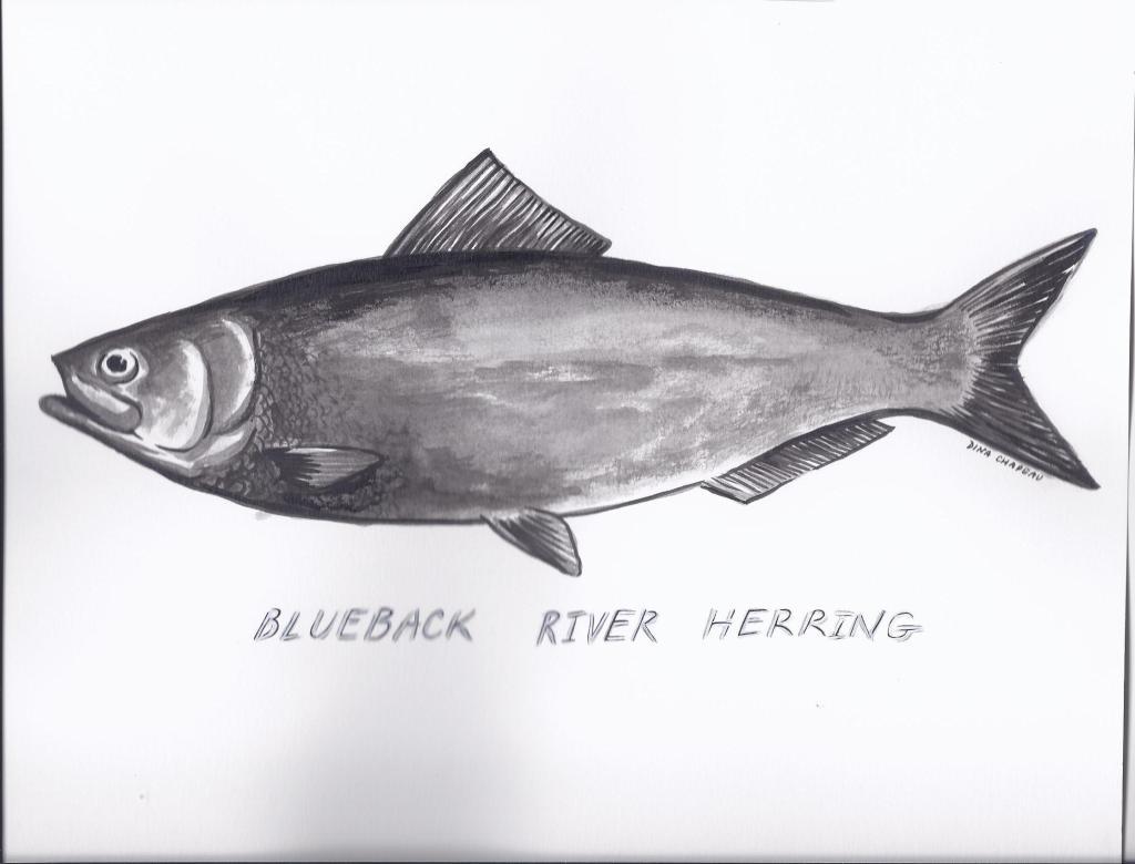 Herring Blueback