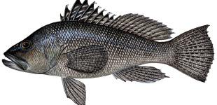 black-sea-bass-female3
