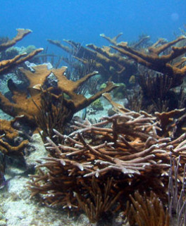 Elkhorn and staghorn corals. Photo http://www.noaa.gov/features/economic/images/acroporareef.jpg