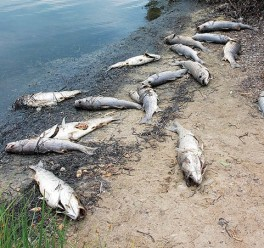 GENE M. MARCHAND/ENTERPRISE Sixteen dead striped bass were among dead fish found on the shore of Little Pond.