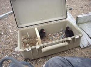 Alaska black-guillemot-chicks Case