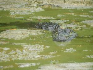 croc in algae