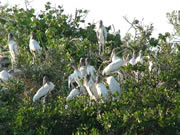 Wood Storks roosting in mangrove trees