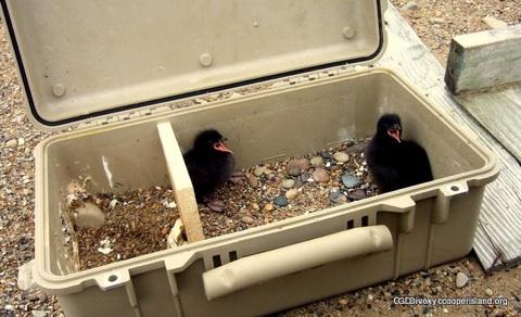 chicks-in-pelican-case