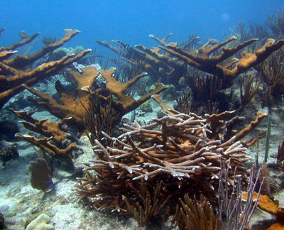 save elkhorn and staghorn corals ocean river institute